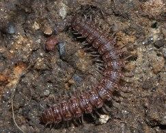 Flat-backed millipede 2