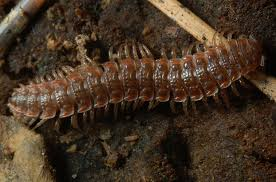 Flat-backed millipede 3