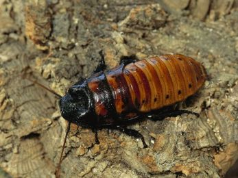 hissing-cockroach 2