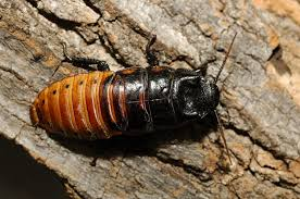 hissing cockroach 3