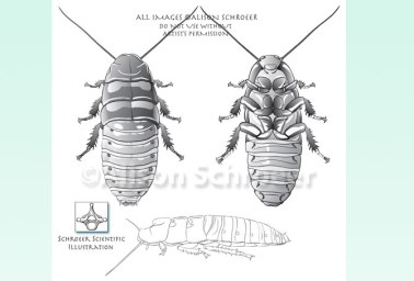 Hissing Cockroach Illustration - Gromphadorhina-portentosa
