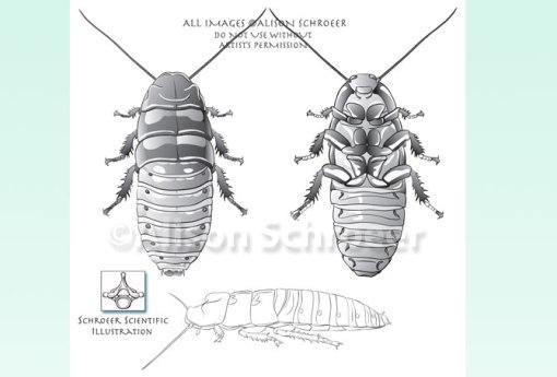 Hissing Cockroach Illustration - Gromphadorhina-portentosa